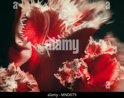 Red tulips with white edges on dark background. Abstract macro photo