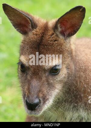 close-up portrait of red-necked wallaby (Bennett's wallaby) - Stock Photo
