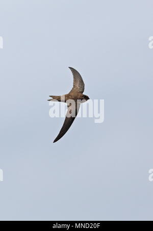 Alexanders Swift (Apus alexandri) adult in flight  Santiago Island, Cape Verde                        April - Stock Photo