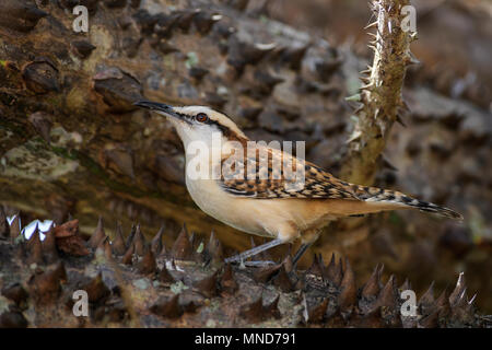 Rufous-naped Wren - Campylorhynchus rufinucha, beautiful colored perching bird from New World, Costa Rica. - Stock Photo