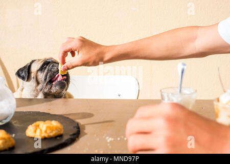 Summer scene with a whit epug eating a piece of biscuits from owner hand, sitting on the table like humans. - Stock Photo