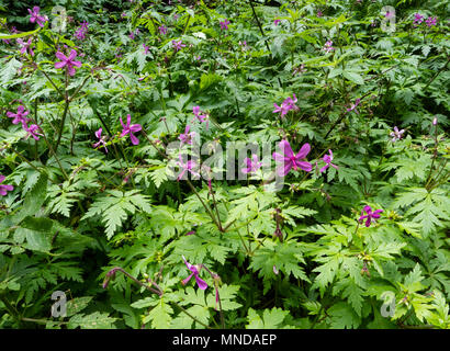 Lavender or Canary cranesbill Geranium canariense carpeting the damp laurisilva cloud forest in  Garajonay National Park in La Gomera Canary Islands - Stock Photo