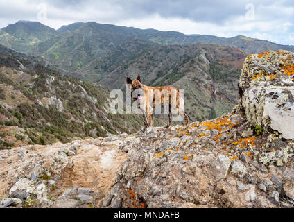 Shepherd dog used to guard herds of goat high in the mountains of La Gomera in the Canary Islands - Stock Photo