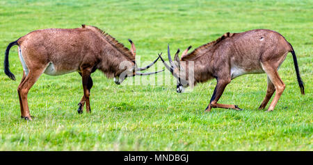 Pair of Oryx antelopes locking horns in rutting ritual - Stock Photo