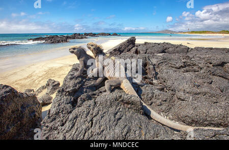 Two Galapagos marine iguanas Amblyrhynchus cristatus basking on lava rocks on the island of Isabela - Stock Photo