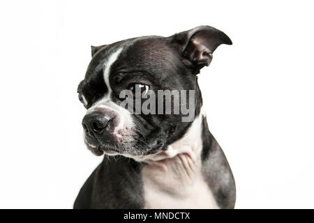 Boston terrier dog looking to the side - Stock Photo
