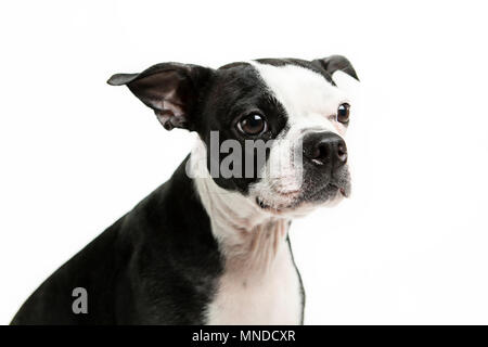 Boston terrier dog sitting looking to the side - Stock Photo