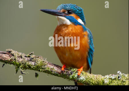 A Male Kingfisher (Alcedo atthis) perched on a branch above a river in the UK - Stock Photo