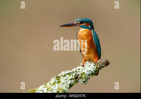 A Female Kingfisher (Alcedo atthis) perched on a branch over a river in the UK - Stock Photo