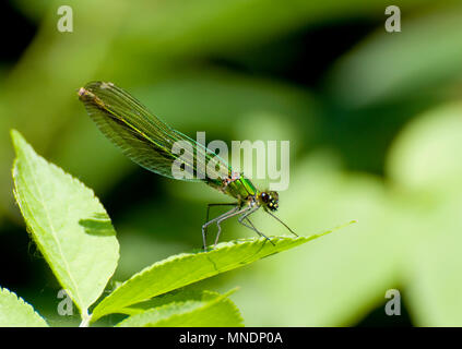 Banded Demoiselle Damselfly, female (Calopteryx splendens) Kent, UK, June. - Stock Photo