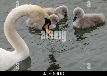 London, UK. 16th May, 2018. Newly hatched mute swan cygnet take a swim with their mother on Canada Water pond © Guy Corbishley/Alamy Live News - Stock Photo