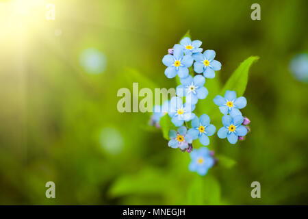 Unique blue forget-me-not flowers close up image in the spring garden. Shallow depth of field - Stock Photo