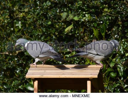 Pair of common wood pigeon on the roof of a bird table looking in opposite directions. - Stock Photo