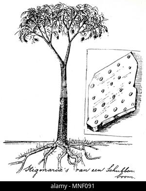 Reconstruction of Lepidodendron by Dutch conservationist Eli Heimans (1911). - Stock Photo