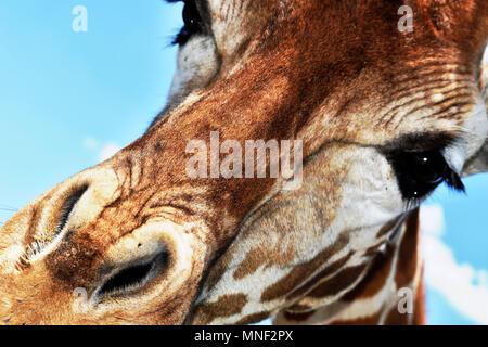 Giraffe Above - Stock Photo