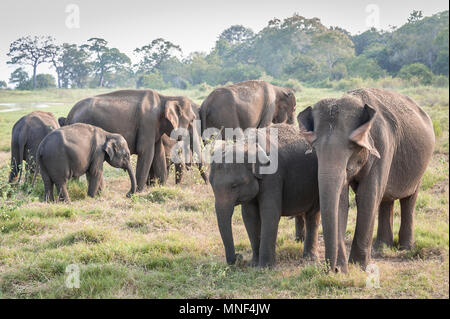 Herd of Indian elephants (Elephas maximus) graze on grassland in Minerriya National Park, Sri Lanka. Peaceful sunset scene in a green landscape - Stock Photo