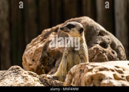 Slender-tailed meerkat Suricata on look out for danger. - Stock Photo
