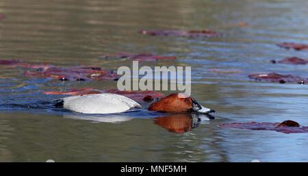 Common pochard (Aythya ferina) - Stock Photo