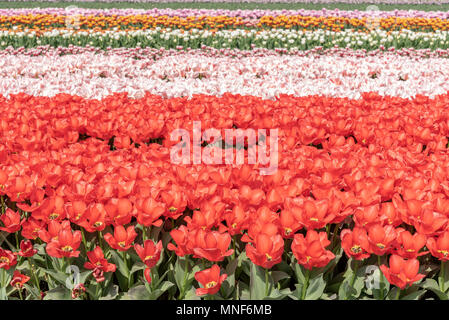 cultivation of tulips in the flower bulb region of Bollenstreek, Netherlands - Stock Photo