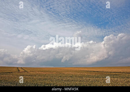 A wheat crop ripening on coastal farmland, under the gathering clouds of a summer's day on the Yorkshire coast. - Stock Photo