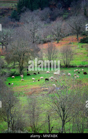 A herd of sheep grazing in Varge during Winter, Montesinho Nature Park. Tras-os-Montes, Portugal - Stock Photo
