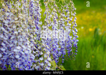 Wisteria, Japanese Wisteria, hanging white blue purple flowers on green grass background. Close up full frame horizontal background - Stock Photo