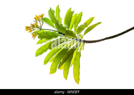Isolated bay leaf. Laurel leaves on a white background. Bayleaf. laurel lea. isolated - Stock Photo