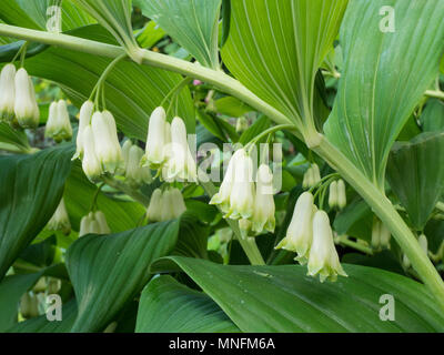 The arching green foliage and hanging white flowers of Solomons seal (Polygonatum × hybridum) - Stock Photo