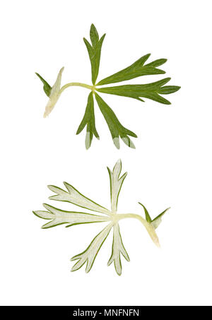 Hoary Cinquefoil - Potentilla argentea - Stock Photo