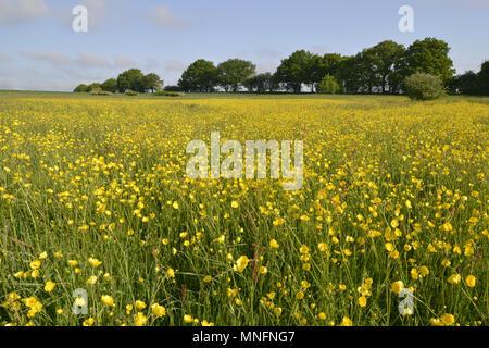Meadow Buttercup - Ranunculus acris - Stock Photo