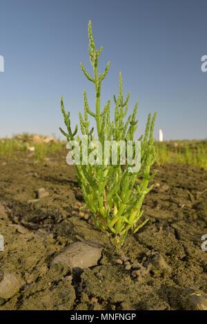 Common Glasswort - Salicornia europaea - Stock Photo