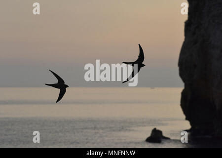 Alpine Swift - Apus melba - Stock Photo