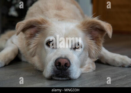 A resting dog, rescued from the pound. He is part Golden Retriever, part Lab, and maybe part German Shepherd.
