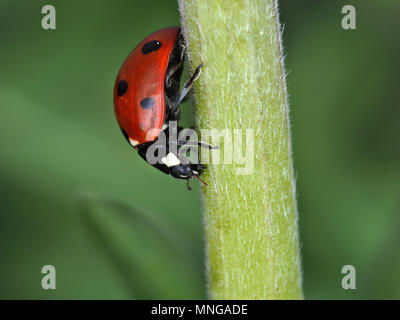 Coccinella septempunctata, the seven-spot ladybird, on a green plant stem - Stock Photo