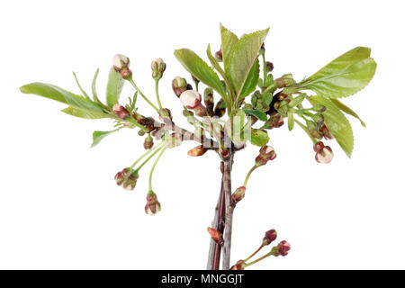 Pink  spring flower buds on branches  of a garden Sweet Cherry fruit tree. Isolated on white studio macro shot - Stock Photo