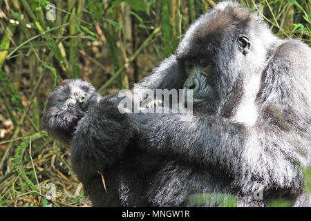 Baby and mother Mountain Gorilla - grooming - Stock Photo