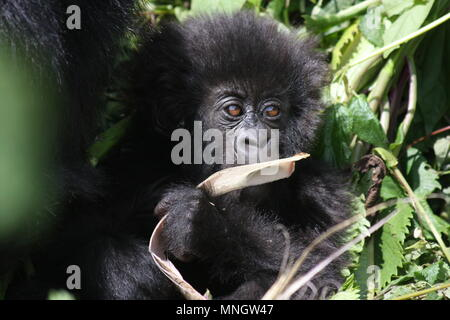 Baby Mountain Gorilla chewing on a dried leaf - Stock Photo