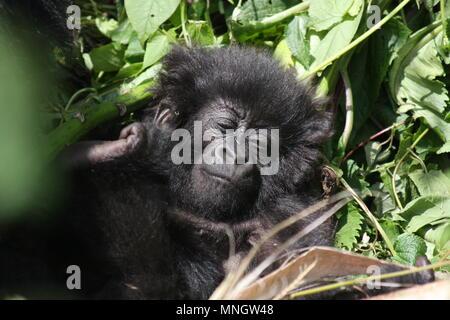 Baby Mountain Gorilla sleeping - Stock Photo