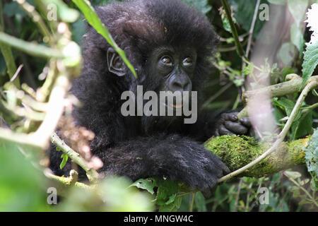 Baby Mountain Gorilla - Stock Photo