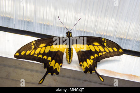 Papilio thoas the king swallowtail - butterfly of the family papilionidae on the window - Stock Photo
