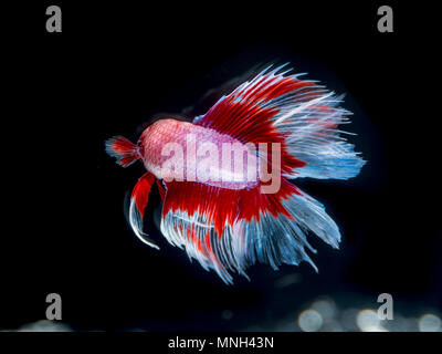 Beautiful fish on black background, bokeh in color black, - Stock Photo