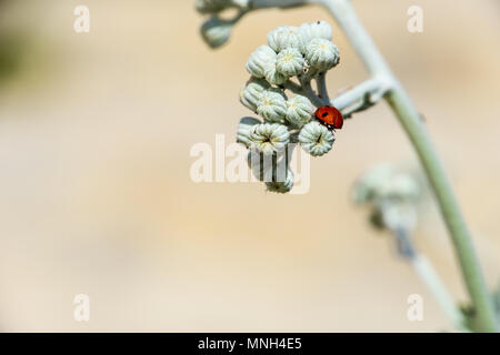 Mallorca, Back view of small red ladybug sitting on flower in the sun - Stock Photo