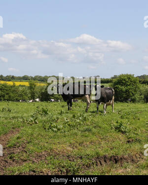 Magheralin, County Armagh, Northern Ireland. 17 May 2018. UK weather - Another warm sunny day with a south-easterly breeze has transformed the countryside. Two balck and white cows in a field with other cattle with the Northern Ireland spring countryside in the background. Credit: David Hunter/Alamy Live News. - Stock Photo