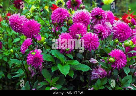 Pink flowers Dahlia in summer garden. Pompon dahlias flowers - Stock Photo