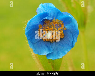 Himalayan Blue Poppy (Mecanopsis grandis) growing in bright sunshine in Cumbria, England, UK - Stock Photo
