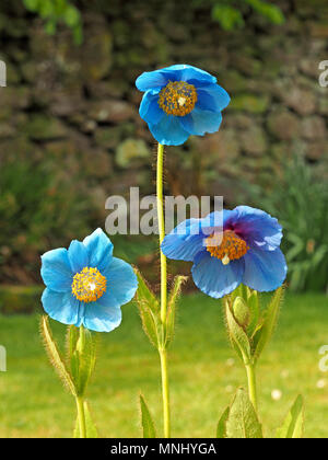 three flowers of Himalayan Blue Poppy (Mecanopsis grandis) growing in bright sunshine in Cumbria, England, UK - Stock Photo