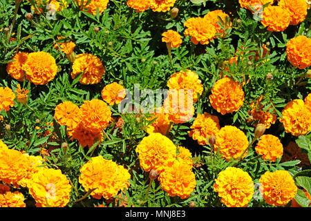 Beautiful orange marigold flowers, Orange Tagetes, Mainau Island - Stock Photo