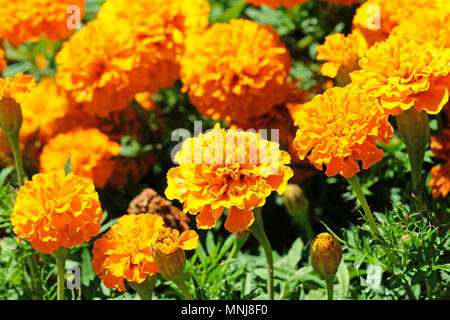 Beautiful orange marigold flowers, Orange Tagetes, Mainau Island - Stock Photo