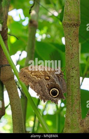 Forest Giant Owl Butterfly, caligo eurilochus - Stock Photo