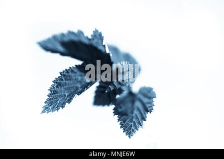 Abstract blue leaves isolated over white background - Stock Photo